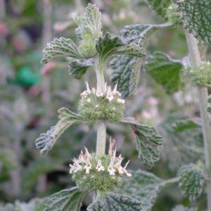 Andorn - Marrubium vulgare