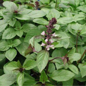 Basilikum, Thai- - Thaibasilikum - Ocimum basilicum 'Siam Queen'