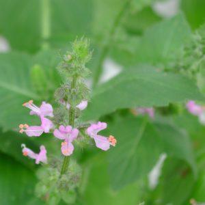 Basilikum, Wildes - Ocimum Canum