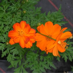 Cosmea, orange - Cosmea sulphureus