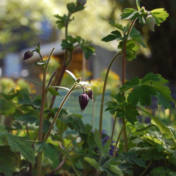 Akelei - Aquilegia vulgaris