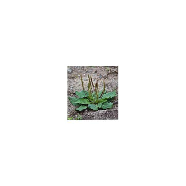 Breitwegerich - Plantago latifolia