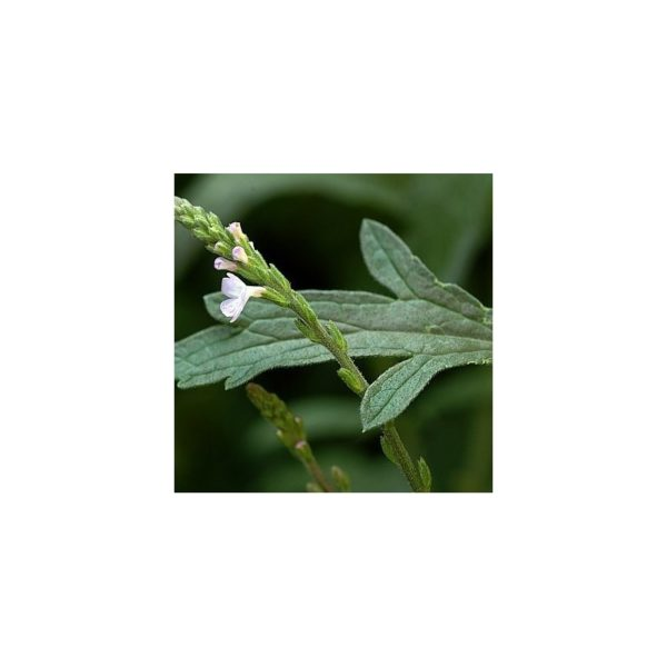 Eisenkraut - Verbena officinalis