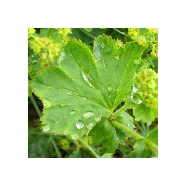 Frauenmantel, gemeiner - Alchemilla vulgaris