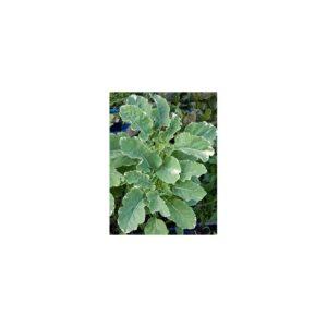 Kohl, ewiger, weißbunt - Brassica species