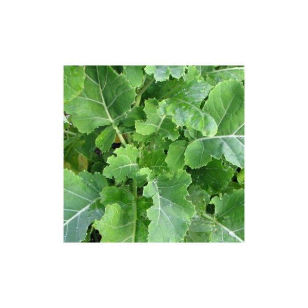 Kohl, ewiger - Brassica species