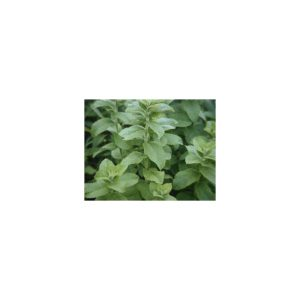 Minze, Apfel- - Apfelminze - Mentha rotundifolia