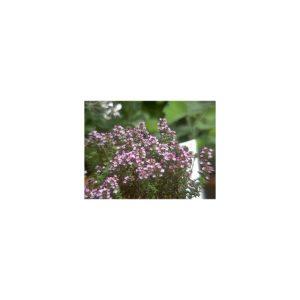 Thymian 'Porlock' - Thymus vulgaris 'Porlock'