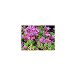 Thymian, Teppich- - Thymus doerfleri 'Bressingham Seedling'