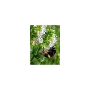 Ysop, weiß - Hyssopus officinalis 'Album'