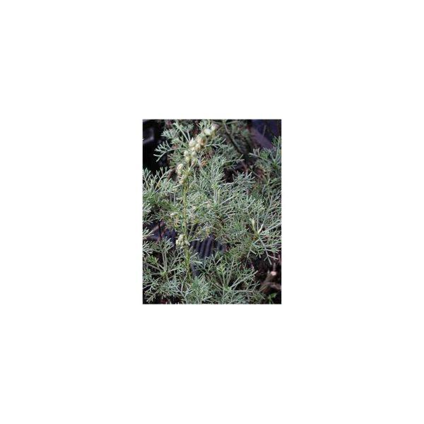 Eberraute, Kampfer - Kampfereberraute - Artemisia abrotanum var. camphorata