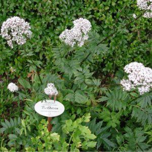 Baldrian - Valeriana officinalis