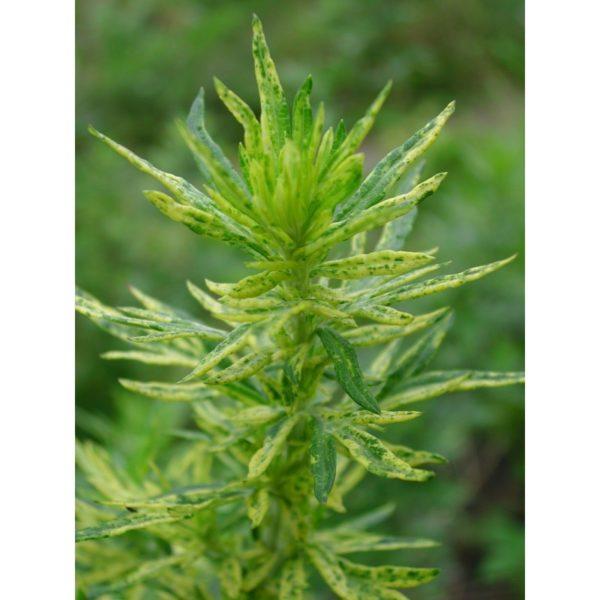 Beifuß, Beifuss 'Limelight' - Artemisia vulgaris 'Limelight'