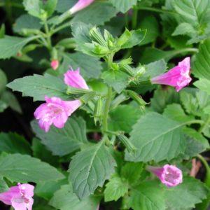 Bergminze, großblütig - Calamintha grandiflora