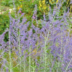 Blauraute, Silberstrauch, russischer Salbei - Perovskia atriplicifolia