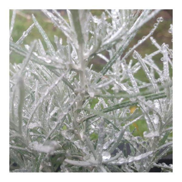 Currykraut - Helichrysum angustifolium