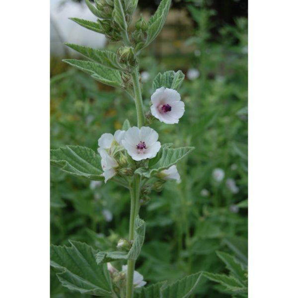Eibisch - Althaea officinalis