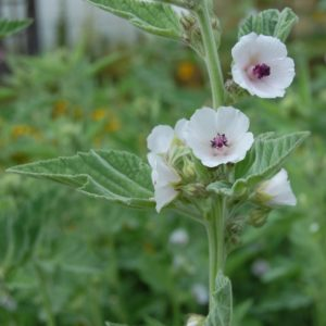 Eibisch - Althaea officinalis