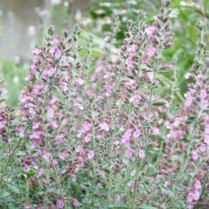 Gamander, Garten-, Immergrüner Gamander - Teucrium x lucidrys (syn. chamaedrys hort.)