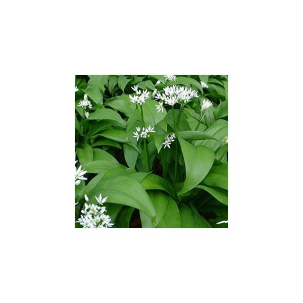 Bärlauch, Baerlauch - Allium ursinum