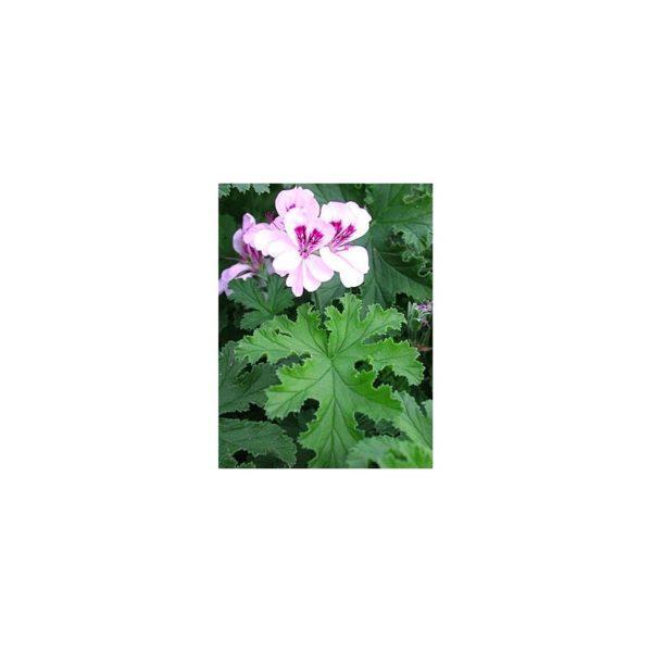 Duftpelargonie 'Copthorne' - Pelargonium 'Copthorne'