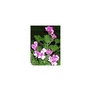 Duftpelargonie Jathrophaefolium - Pelargonium x jathrophaefolium
