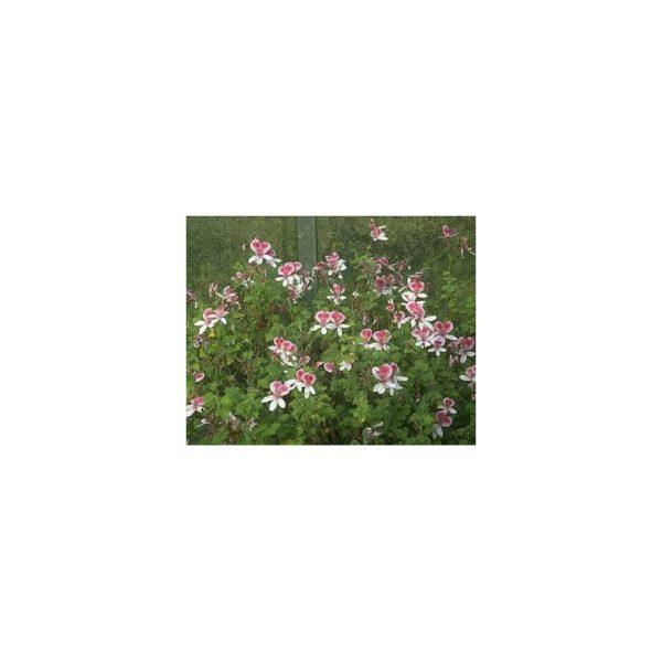 Duftpelargonie 'Lady Mary'- Pelargonium 'Lady Mary'