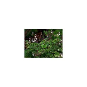 Muskatduftpelargonie - Pelargonium fragrans