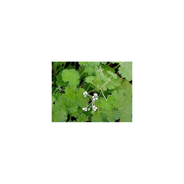 Apfelduftpelargonie - Pelargonium odoratissimum