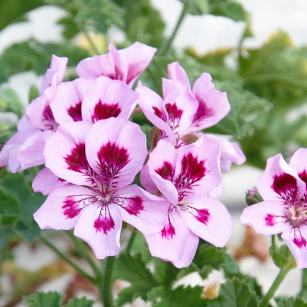 Duftpelargonie Brunswick - Pelargonium Brunswick