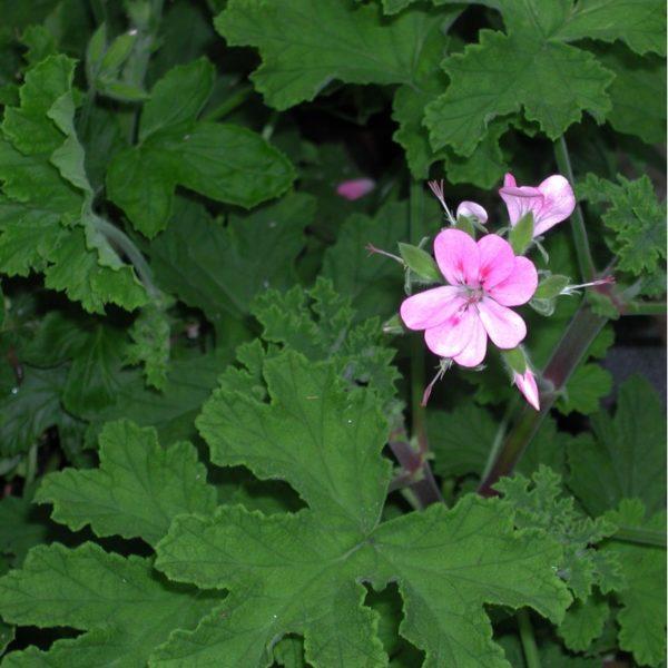 Duftpelargonie 'Sweet Miriam' - Pelargonium 'Sweet Miriam'
