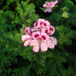 Eichenlaubpelargonie - Pelargonium 'Royal Oak'