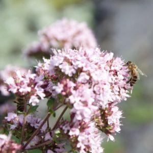 Wildbienen-Pflanzenpaket B