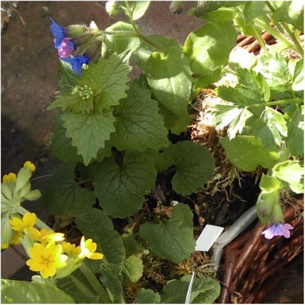 Frühlingskräuter-Pflanzenpaket