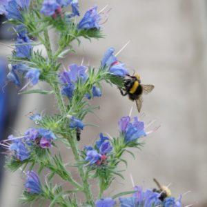 Natterkopf Wildbiene