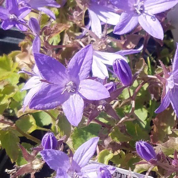 Hängepolster-Glockenblume Wildbiene