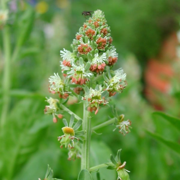 Reseda (odorata) Wildbiene