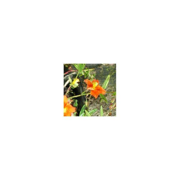 Sonnenröschen Wildbiene
