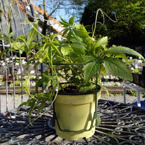 Inka-Gurke - Cyclanthera pedata