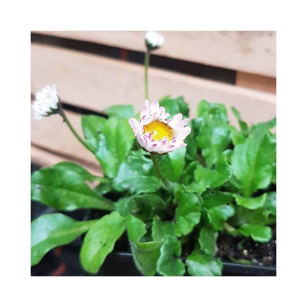 Gänseblümchen,wildes - Bellis perennis