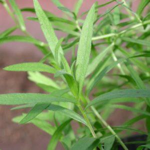 Estragon, französischer - Artemisia dracunculus var. sativa