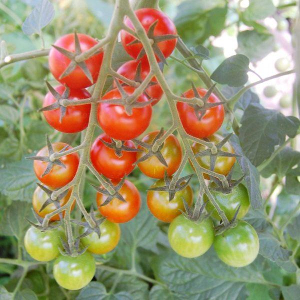 Cherry-Tomate 'Philovita'