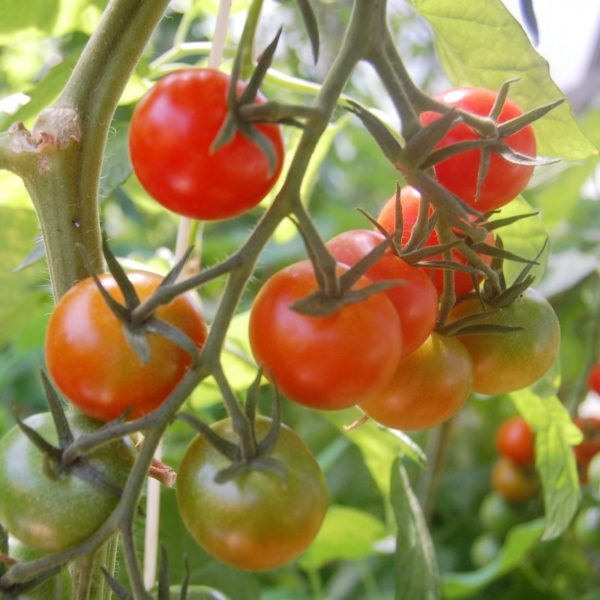 Cocktail-Tomate 'Zuckertraube'