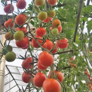 Cocktail-Tomate 'Versennij Mitschurinskij'
