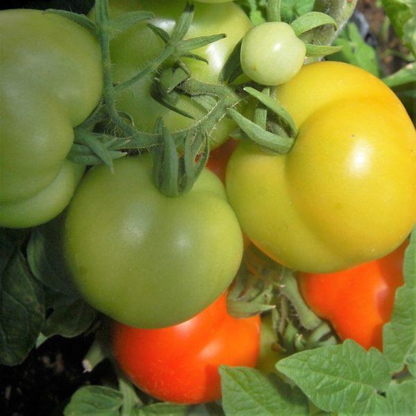 Busch-Tomate 'Rotkäppchen'