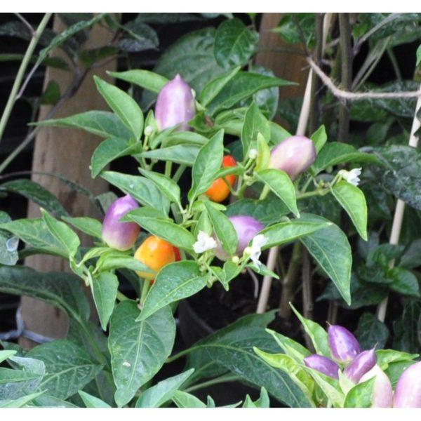 Chili 'Harlequin' - pfeffrig scharf