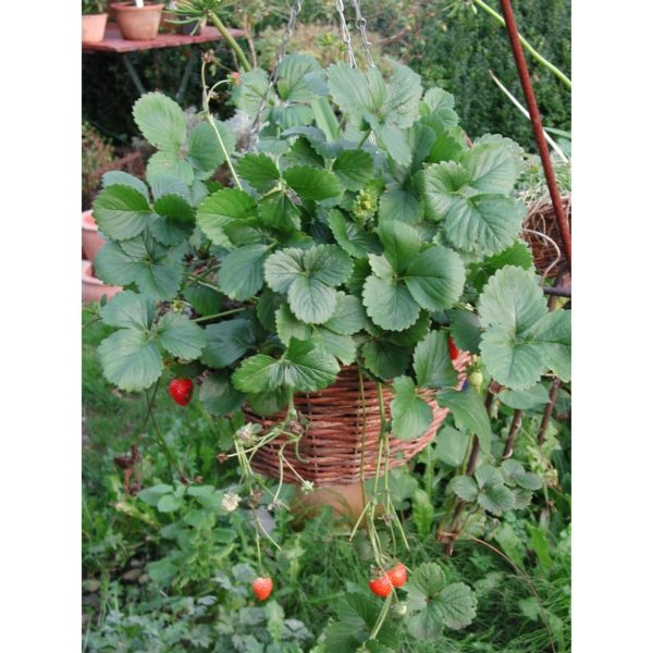 Monats-Erdbeere, hängend - Fragaria x ananassa 'Milan'