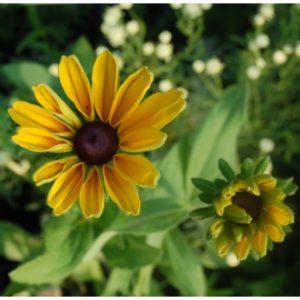 Sonnenhut, großblumig - Rudbeckia hirta 'Indian Summer'