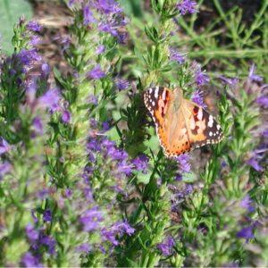 Schmetterlingspflanzen Paket