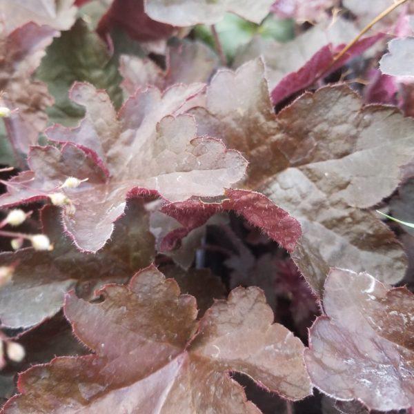 Silberglöckchen - Heuchera micrantha 'Molly Bush'